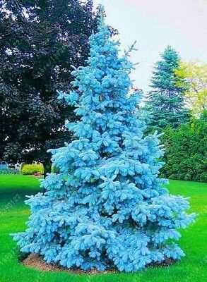 100 Beautiful Rare Tree Seed Evergreen Trees Colorado Blue