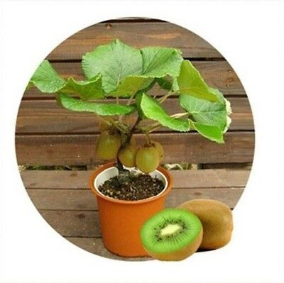 100pcs Kiwi fruit seeds, Thailand Mini Kiwi Fruit Seeds flower, Bonsai plants,de