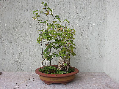 Trident Maple Bonsai Plant