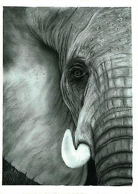 Elephant Head - Pencil Drawing Print : A4 Limited Edition Of 100 Hand Numbered