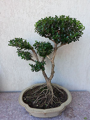 Japanese Bux Bonsai