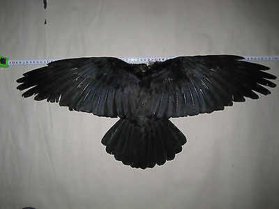 CARRION CROW TAXIDERMY  1 TAIL & 2  wings
