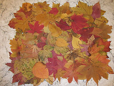 225+  Pressed Dried  Fall  Leaves  SECONDS Decorations + Weddings, Rustic Crafts