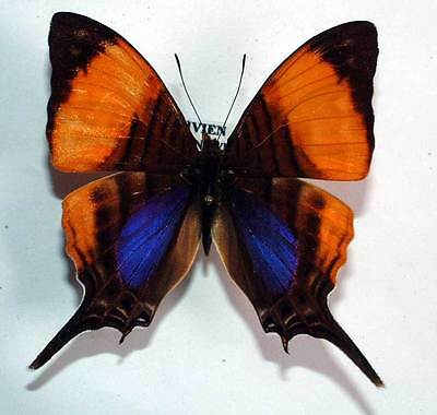 MARPESIA MARCELLA - unmounted butterfly