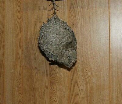 Paper Wasp Hornets Nest with branch