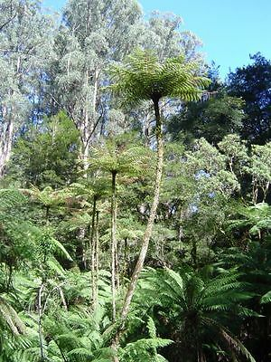 Cyathea Cunninghamii Very rare! indoor/patio tree fern! Giant upto 20m! Seeds
