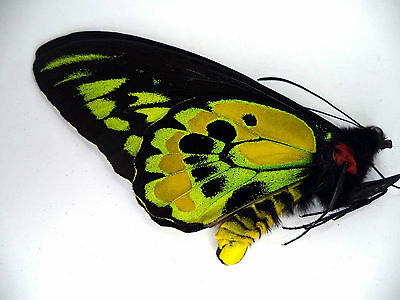 UNMOUNTED BUTTERFLY/ORNITHOPTERA ROTHSCHILDI  MALE No 1 .