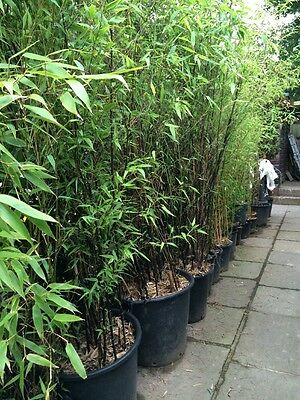 Yellow , Black And Green Bamboo - Large Plants - 14 Available