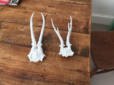 Small Antlers (painted white)