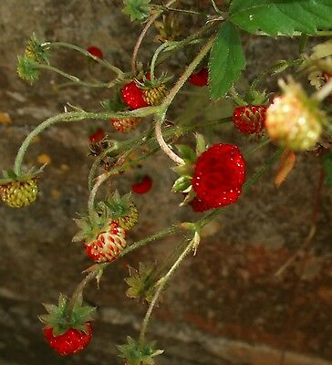 pack of 10 Alpine strawberries very sweet fruits hardy & prolific long fruiting