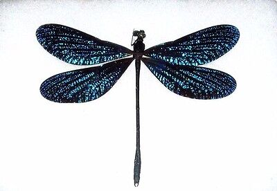 One Blue Dragonfly Damselfly Mounted Unframed Papered Packaged Wholesale