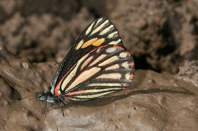 One Real Butterfly Orange Neophasia Terlooii Female Papered Unmounted Wholesale