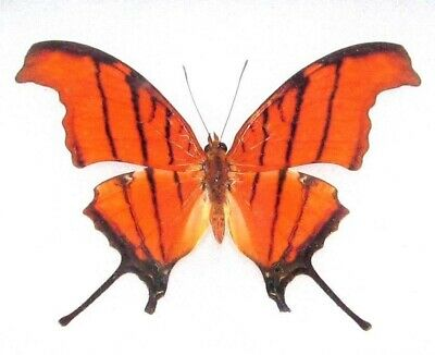 One Real Butterfly Orange Ruddy Daggerwing Marpesia Unmounted Wings Closed