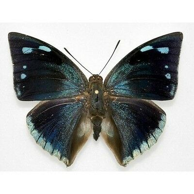 One Real Butterfly Blue Green Anaea Xenocrates Unmounted Wings Closed