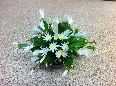 White Rhipsalidopsis Easter Cactus.  House/Indoor Plants. 11.5 Cm Pot.