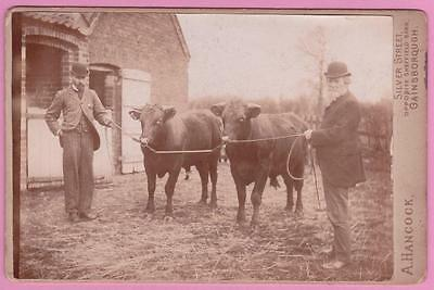 Cabinet Photograph Farmers with their Prize Bulls Gainsborough Lincolnshire