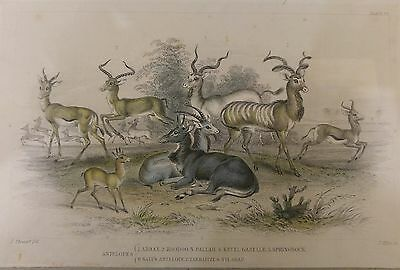 Antelopes 1858 Goldsmith/Cuvier Hand Coloured Wood Print Stewart/Miller