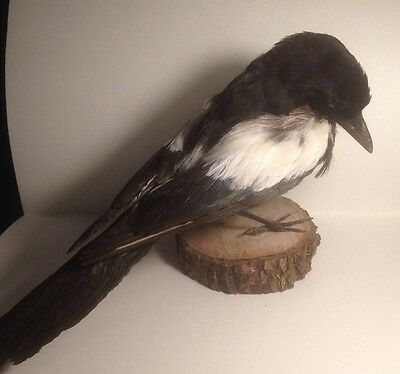 Taxidermy Magpie Bird, Stuffed, Gothic, Pagan, Vintage