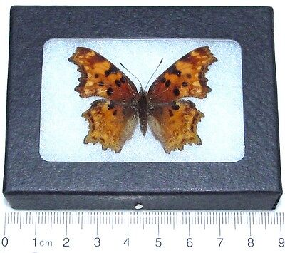 Real Framed Butterfly Colorado Comma Polygonia