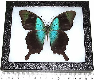 Real Framed Butterfly Blue Green Papilio Peranthus Ssp