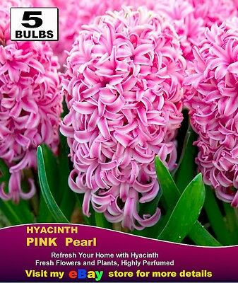 HYACINTH  BULBS-  PINK Colour * Highly Perfume-   MULTI  LISTING