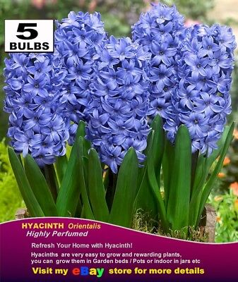 FLOWER  BULBS-  HYACINTH  Bulbs - BLUE Colour * Highly Perfume-  MULTI  LISTING