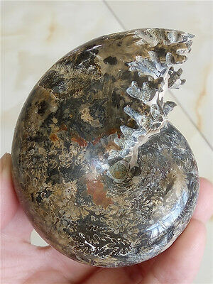 174 g Rare Natural conch handwork carved ammonite fossil specimens A 234