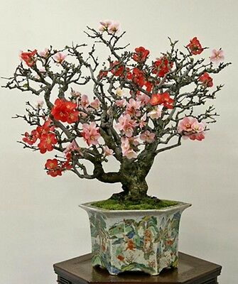 JAPANESE QUINCE edible fruits!Bonsai seeds Hardy easy to grow shrub/tree