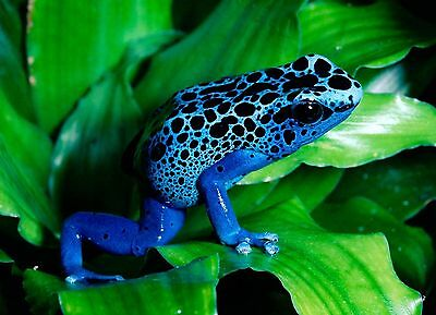 Blue Dart Frog Nature Animal Poster A4 A3 A2 A1 Gift Present OC0014
