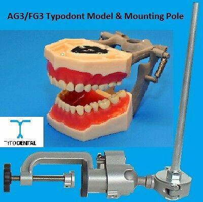 Dental Typodont Model FG3 / AG3 works with Frasaco brand teeth & Mounting Pole