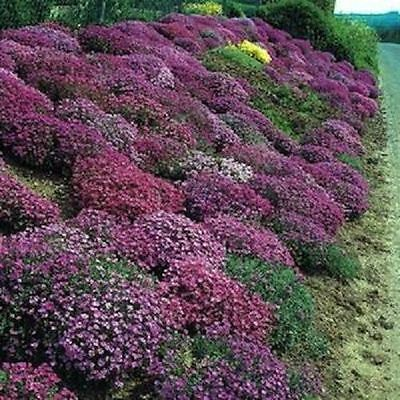 2,000 Rock Cress Seeds Cascading Red Purple Mix Aubrieta (PERENNIAL) BULK SEEDS