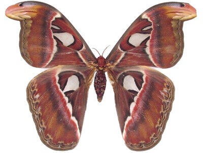 Real Saturn Moth Attacus Atlas Female Indonesia Unmounted Wings Closed