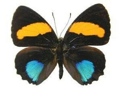 One Real Butterfly Blue Orange Callicore Aegina Peru Unmounted Wings Closed