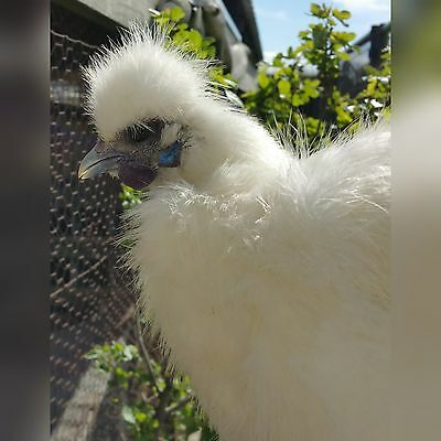 6 +Extras  PURE WHITE SILKIE FERTILE HATCHING CHICKEN EGGS