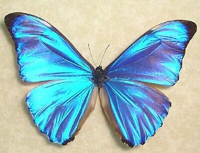 One Real Butterfly Blue Morpho Aurora Unmounted Wings Closed