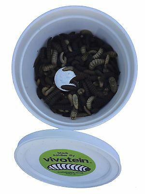 Black Soldier Fly Larvae Black & White Mixed