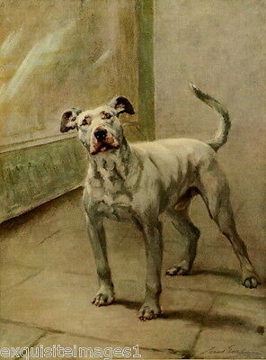 1914 Maud Earl~White Pit Bull Terrier Dog Dogs ~ NEW Large Note Cards
