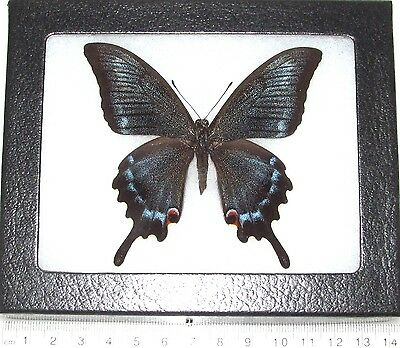 Real Framed Butterfly Papilio Maacki X Papilio Machaon Hybrid Very Rare!