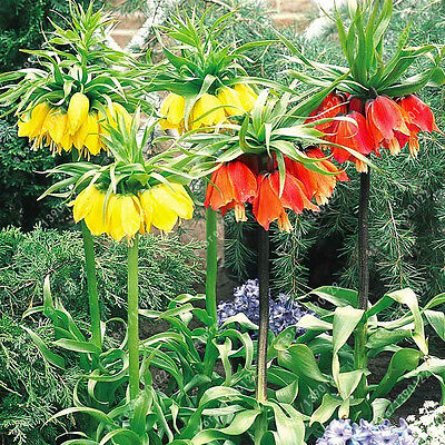 10+ Mix Crown Imperial Seeds 9 colors Fritillaria Imperialis Seeds Ground Cover