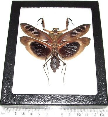 Real Framed Praying Mantis Deroplatys Dessicata Black Death Mantis Male