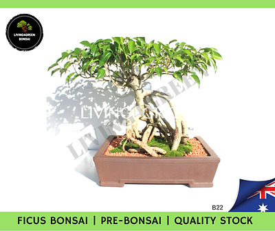 Bonsai Tree - Plant Ficus - Fast Shipping - Qld Stock! Great For Any House! B22