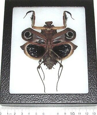 Real Framed Praying Mantis Deroplatys Dessicata Black Death Mantis Female Dark V