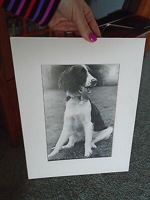 English Springer Spaniel Dog Photo Print black and white vintage matted tongue