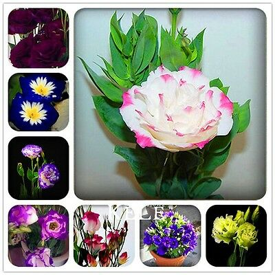 120 PCS Mixed Eustoma Seeds Perennial Flowering Plants Lisianthus Multicolor