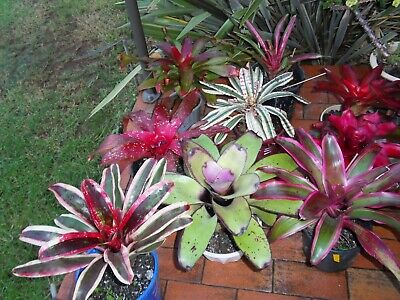 Bromeliad Neoregelias - Special Offer    X  20   (All Tagged-New Broms)