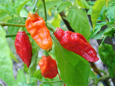20 GHOST PEPPER SEEDS - CRAZY HOT Naga Bhut Jolokia Cobra Chili Vegetable