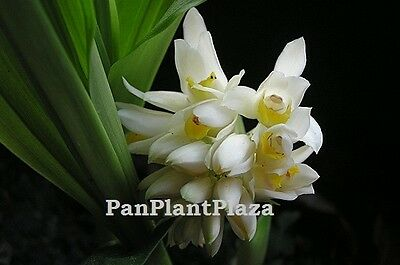 5 Bulbs Geodorum Attenuatum Griff Ground Orchid Rhizome Plant Rare Flower Fresh