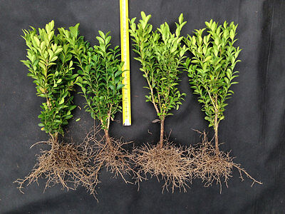 100 x Box / Buxus 15 - 20cm - Box Hedging, Buxus Plants from Producer