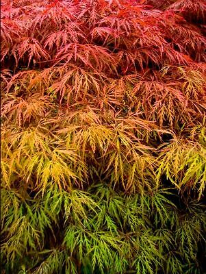 Japanese Weeping Maple or Red Yulan Genie Tree Seeds Exotic Plant Seed