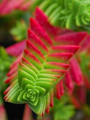 Red Pagoda Seeds Exotic Succulent Peaceful Karma Cactus Zen Garden Plant Seed